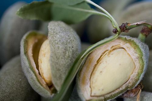 Almond_open_fruit